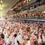 factory-farmed-chickens